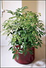 Schefflera Arboricola from Arthur Pfeil Smart Flowers in San Antonio, TX