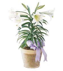 Easter Lily Plant from Arthur Pfeil Smart Flowers in San Antonio, TX