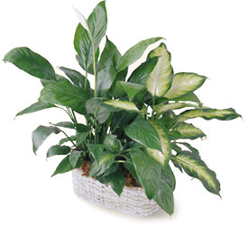 Spathiphyllum and Dieffenbachia from Arthur Pfeil Smart Flowers in San Antonio, TX