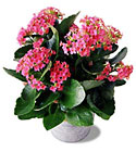 Pink Kalanchoe from Arthur Pfeil Smart Flowers in San Antonio, TX