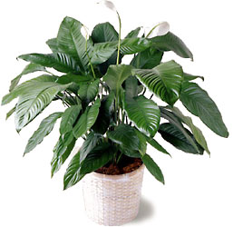 The Lush Spathiphyllum Plant In A Woven Pot Cover Is One Of The Few  Flowering Plants That Blooms Reliably Indoors. This Plant Is Also Known By  The Common ...