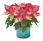 Pink Poinsettia from Arthur Pfeil Smart Flowers in San Antonio, TX