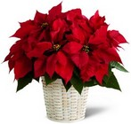 The FTD Red Poinsettia Basket  from Arthur Pfeil Smart Flowers in San Antonio, TX