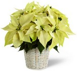 The FTD White Poinsettia Basket (Small) from Arthur Pfeil Smart Flowers in San Antonio, TX