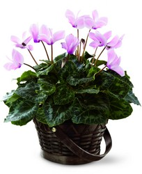 The FTD Pink Cyclamen from Arthur Pfeil Smart Flowers in San Antonio, TX