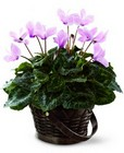 FTD Pink Cyclamen from Arthur Pfeil Smart Flowers in San Antonio, TX