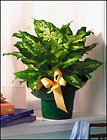 Dieffenbachia from Arthur Pfeil Smart Flowers in San Antonio, TX