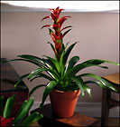 Red Bromeliad from Arthur Pfeil Smart Flowers in San Antonio, TX