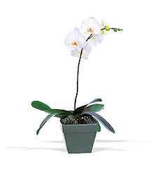Phalaenopsis Orchid Plant from Arthur Pfeil Smart Flowers in San Antonio, TX