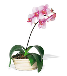 Phalaenopsis Orchid from Arthur Pfeil Smart Flowers in San Antonio, TX